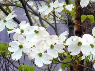 アメリカハナミズキ(花水木)の手入れ