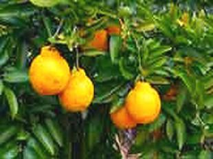 カンキツ類(柑橘類)レモンの手入れ