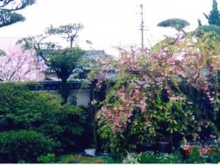 サクラ(桜)の手入れ