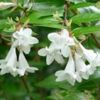 フランシスメイソン(花)