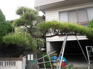 筑紫野市塔の原 K様邸 松の剪定