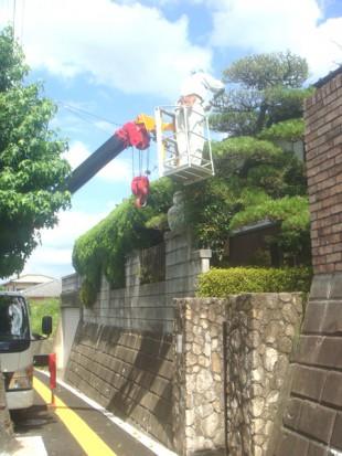 大野城市平野台 松の芽摘み