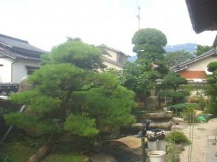 飯塚市 松の手入れ