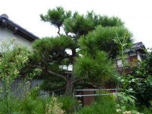 福岡市博多区浦田 T様邸 松の木手入れ定期管理