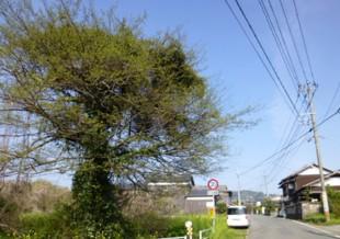 杷木町志波 T様邸 高木樹伐採・空き地の管理