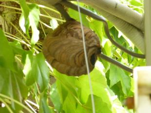 ツタに隠れてスズメバチの巣がありました