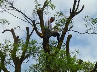 枝もかなり太いので途中からは枝に移って、チェンソーで落としていきます。