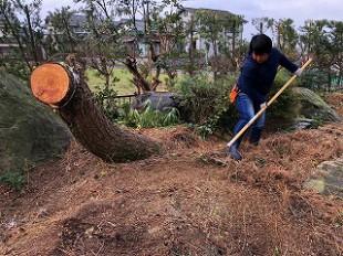 写真:高木松伐採