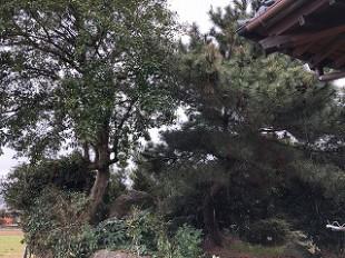 写真:松伐採・モチノキ剪定前