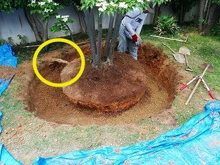 画像:根周り掘り出し完了